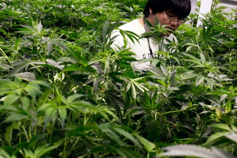 image: Growth technician Mike Lottman moves through the marijuana plants in a medical marijuana center in Denver, April 2, 2012.