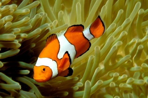 Orange clownfish