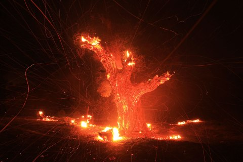 Wind-blown embers fly from an ancient oak tree that burned in the Silver Fire near Banning, California.