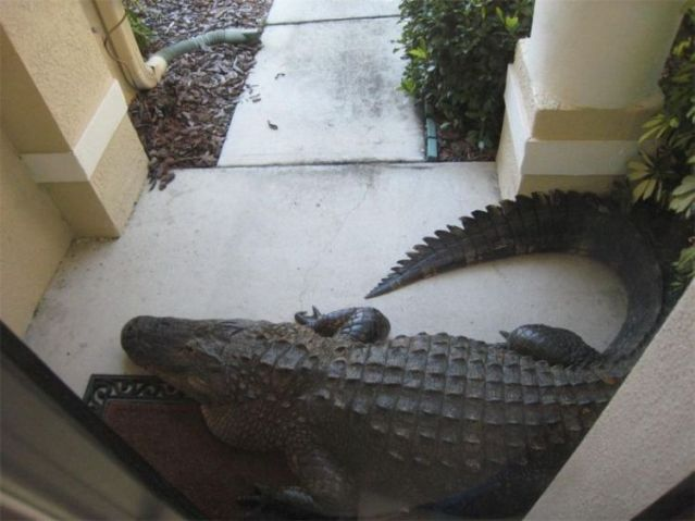 An alligator sits on the doormat of a Florida family's home, Aug. 28, 2009.
