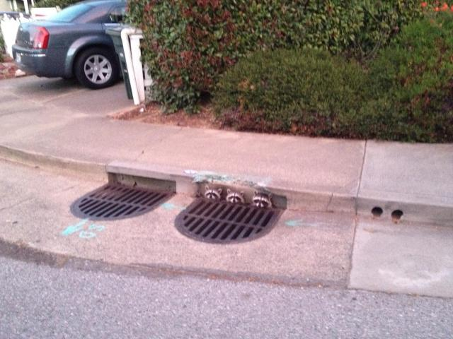 A trio of raccoons poke their heads out of a storm drain in California.