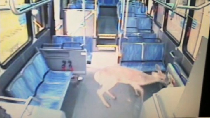 Oh Deer! The amazing moment a deer crashed through the windshield of a bus… and escaped unharmed