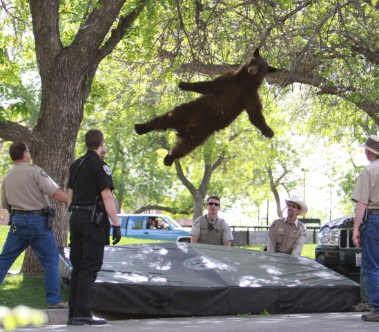YE Top TaA bear that wandered into the University of Colorado Boulder, Colo., dorm complex Williams Village falls from a tree after being tranquilized by Colorado wildlife officials, April 26, 2012.en Photos Tranquilized Bear
