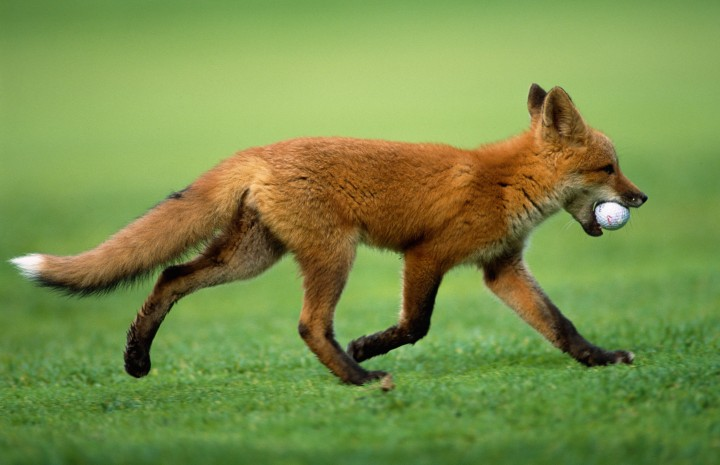 Red Fox Pilfers Golf Ball @ Golf Course Anchorage AK SC Summer Elmendorf Air Base
