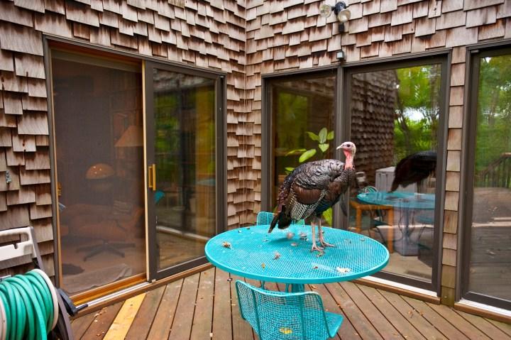 A wild turkey perches on a patio table in Mendota, Minn.,