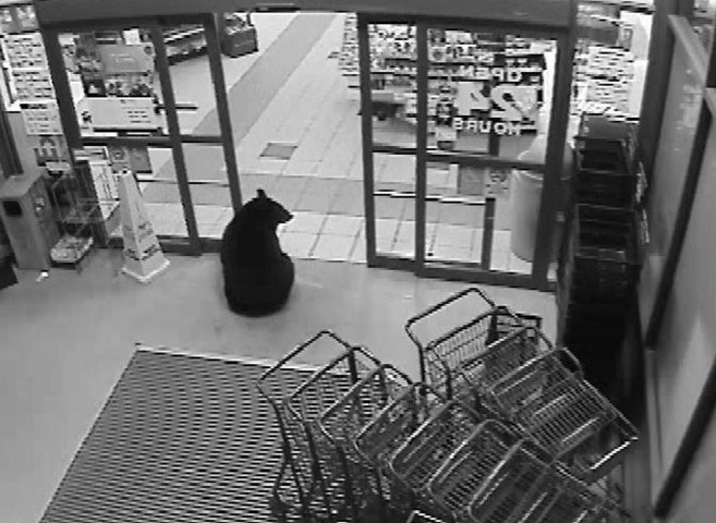 A bear cub sits at the door of Marketplace Foods and Liquor Depot in Hayward, Wis.