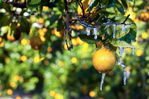 Icicles hang from an orange tree at a commercial grove near