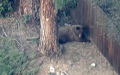 Pasadena Bear